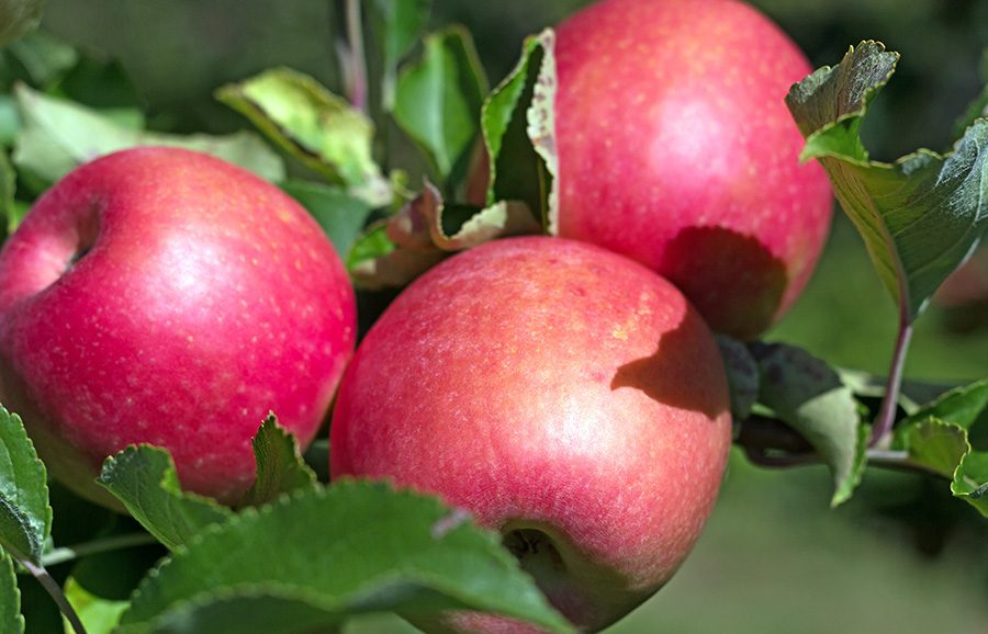 ANFIC-Apple-Variety-Sundowner