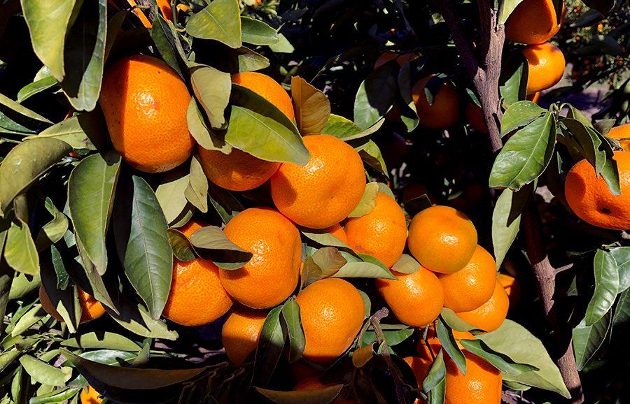 ANFIC-Nectar-seedless-mandarin