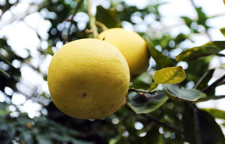 ANFIC-Pomelit-Pomelo-fruit-tree-variety2