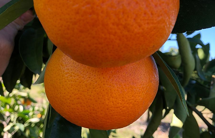 ANFIC-Winola mandarin