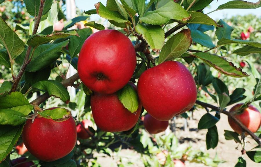 ANFIC-apple-NY1