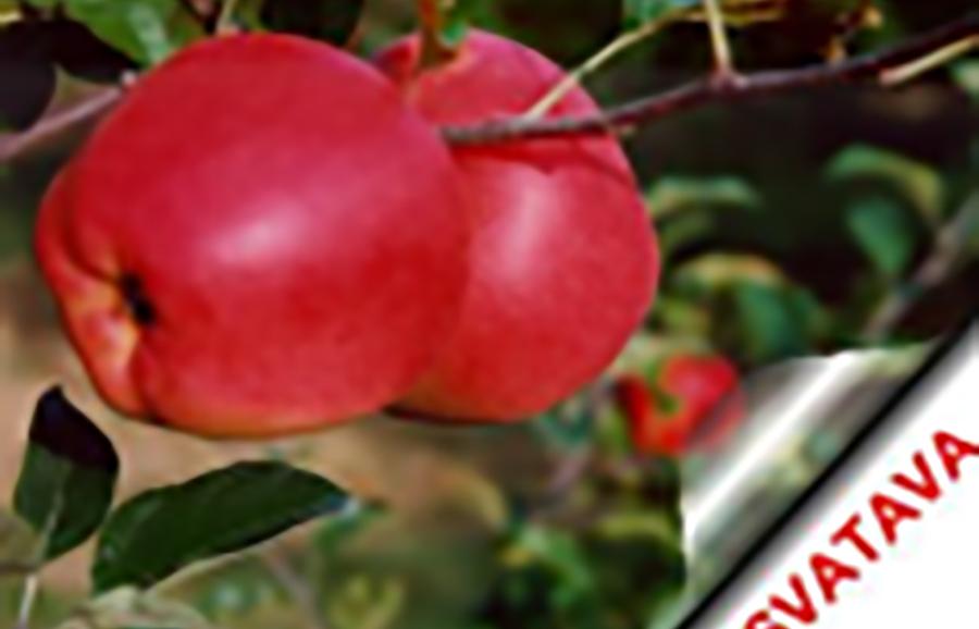 ANFIC-apple-svatava