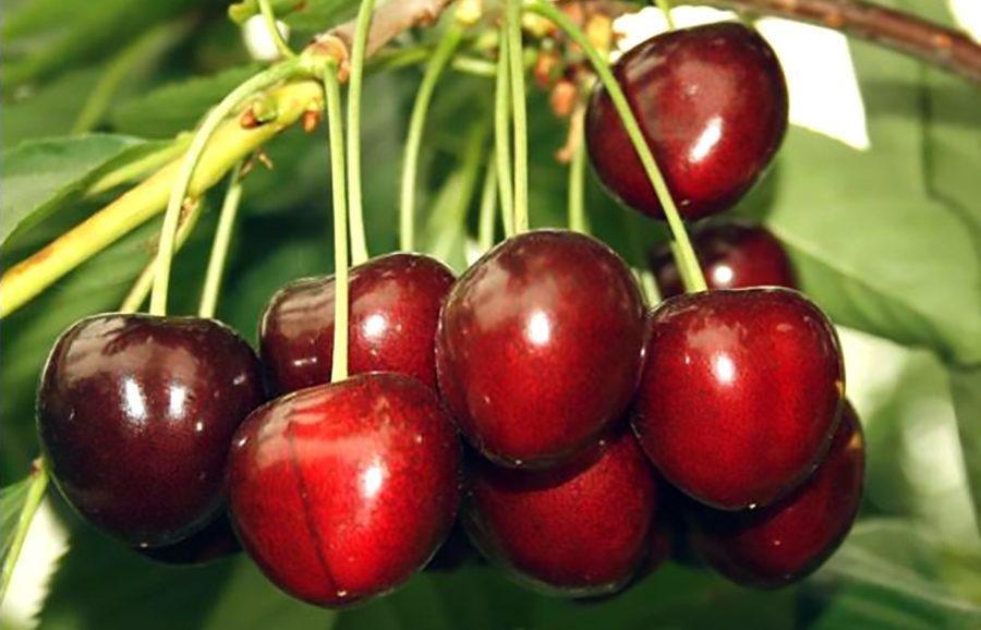 ANFIC-cherry-Areko_01