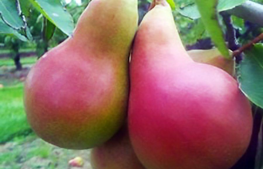 ANFIC-pear-HW623b