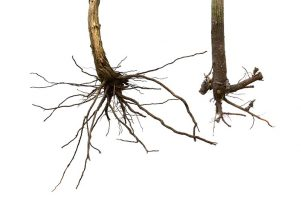 Premium Rootstocks - Fruit Trees - ANFIC