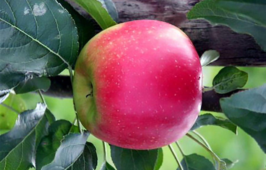 Machiels Apple fruit tree variety from ANFIC