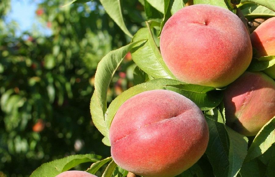 August Sun peach