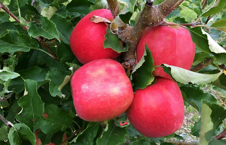ANFIC_Apple_Variety_Barnsby