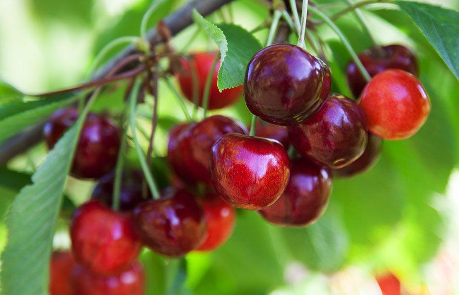 Bellise-cherry-variety