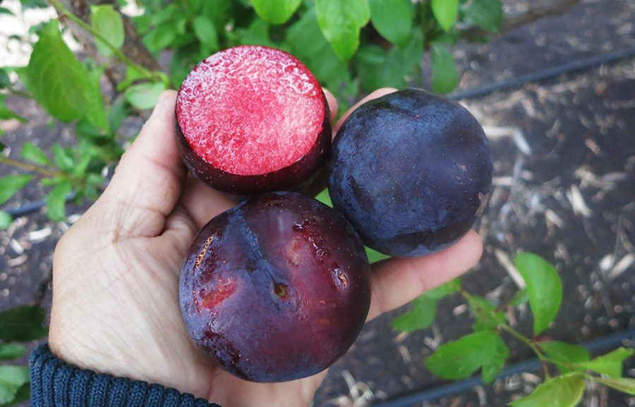 Brave-Heart_plum-fruit-tree-variety-anfic