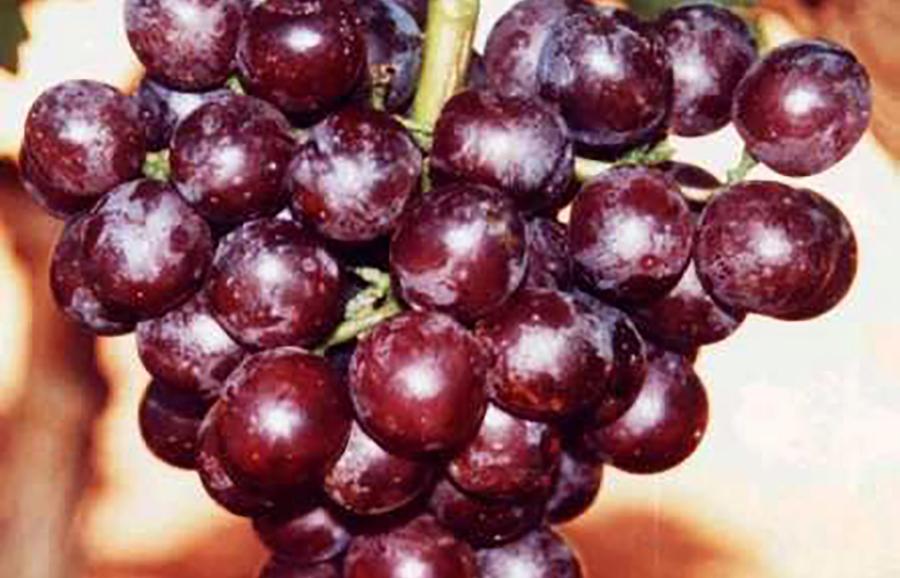Cerise-grape-fruit-tree-variety-ANFIC