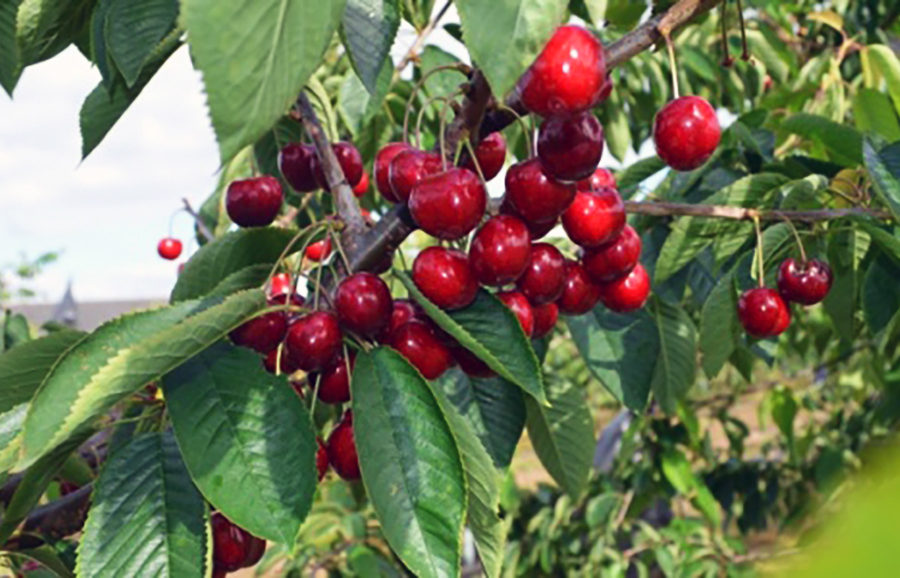 Sumnue_Christiana-cherry-fruit-tree-variety