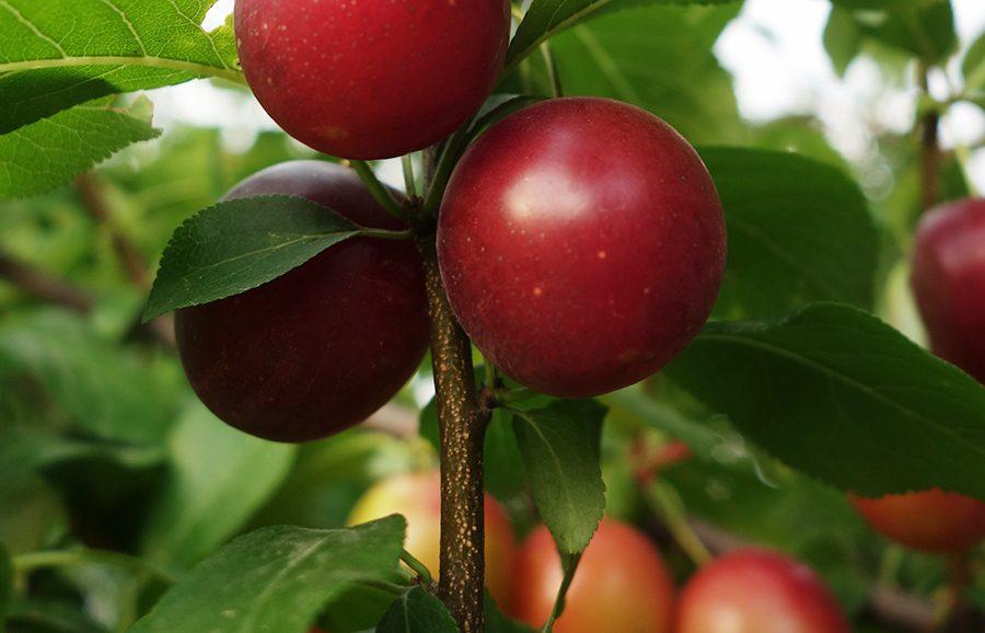 Durado-plum-fruit-tree-variety-anfic
