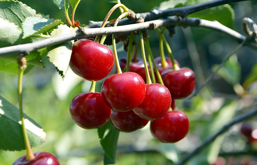 Earlise-cherry-variety