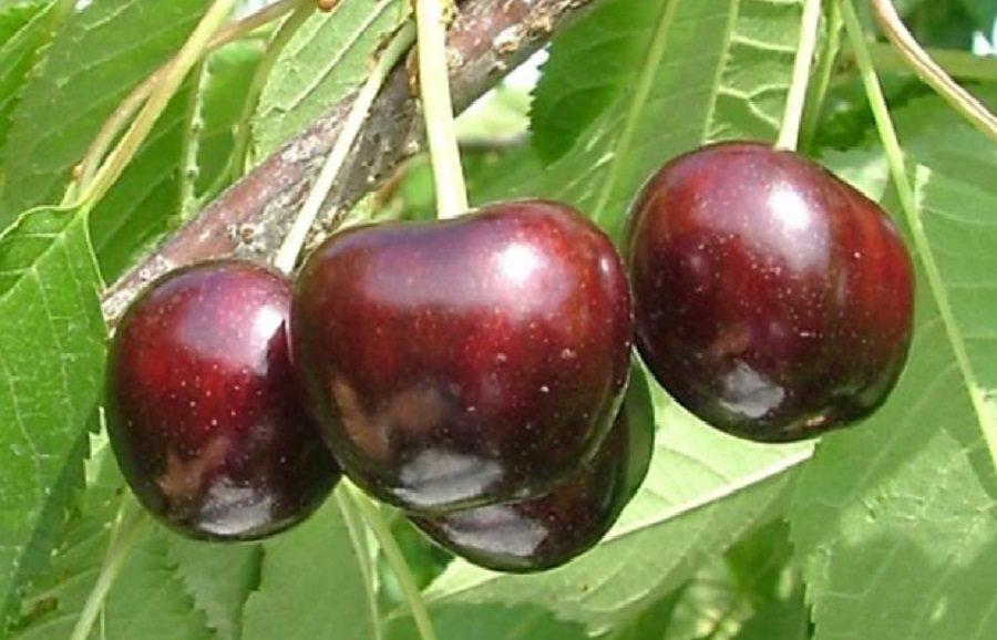 Ebony Pearl (NY032) cherry