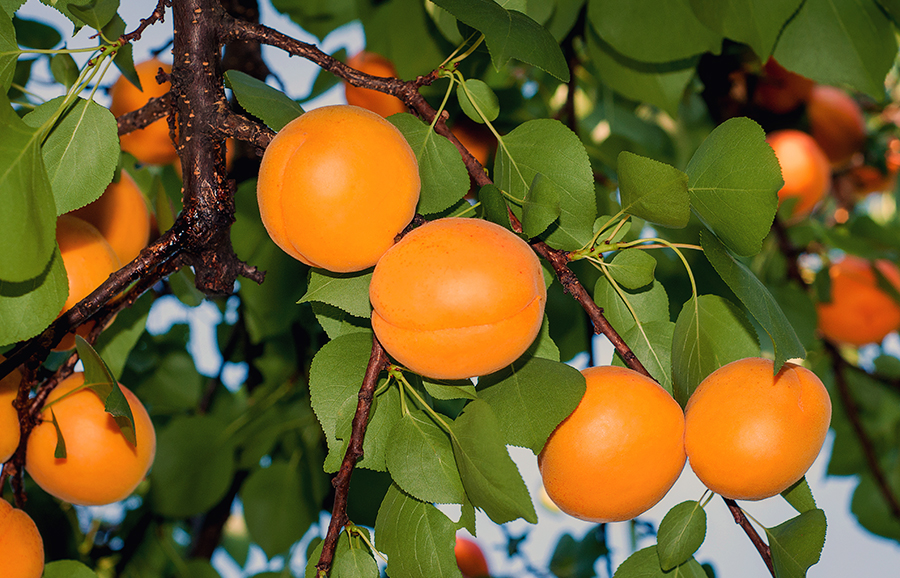 Ginger_Aroma-Cot-Apricot-fruit-tree