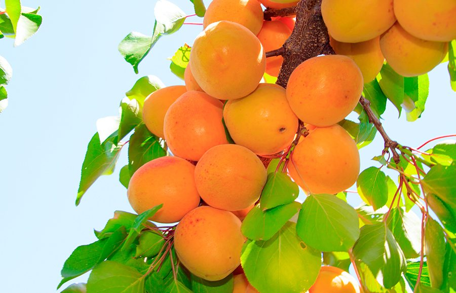 H80-77-apricot-fruit-tree
