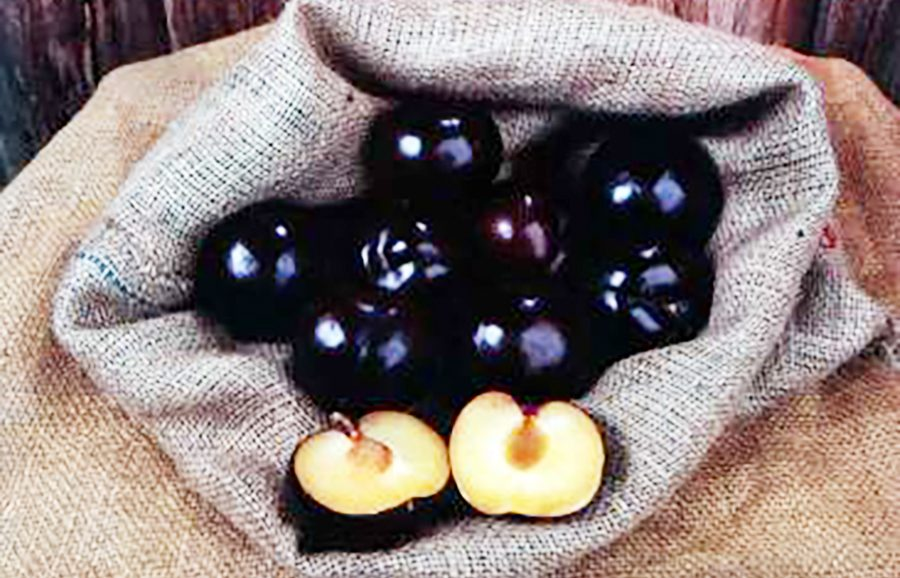 Howard_Sun-plum-fruit-tree-variety-anfic
