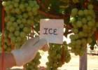 Ice Seedless™ table grape