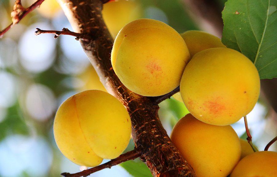 J1-139-apricot-fruit-tree