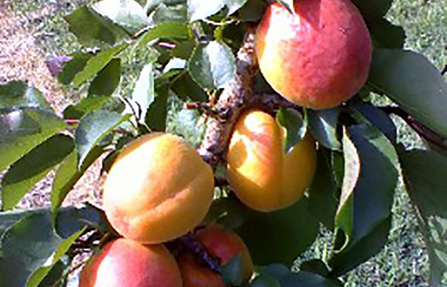Kinzica-18-12-08-apricot-fruit-tree