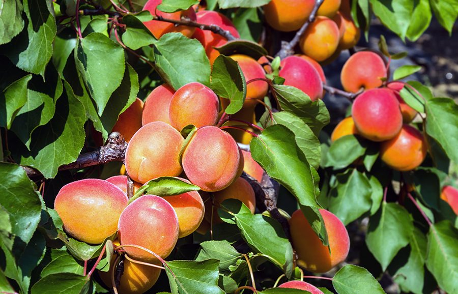Lilly-Cot-apricot-fruit-tree