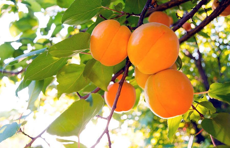 MGM310_1-Orange-Gold-apricot-fruit-tree