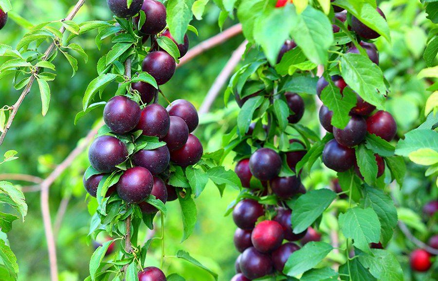 Midnight-Sun-plum-fruit-tree-variety-anfic