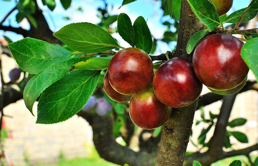 October-Sun-plum-fruit-tree-variety-anfic