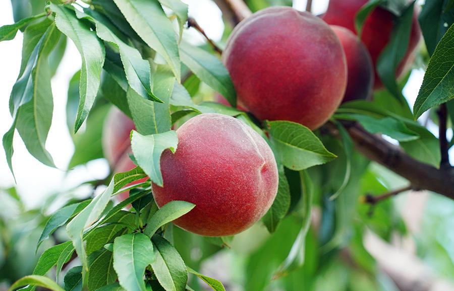 Peach Ryan Sun