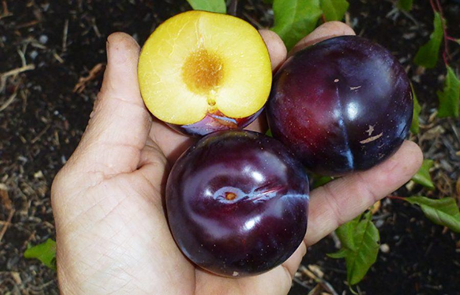Ruby-Sun-plum-fruit-tree-variety-anfic2