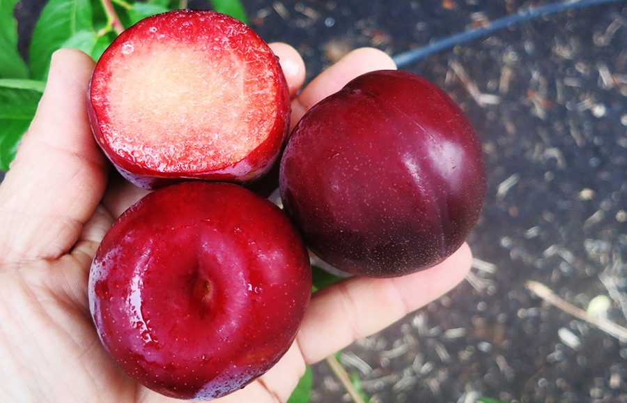 Winner_plum-fruit-tree-variety-anfic3