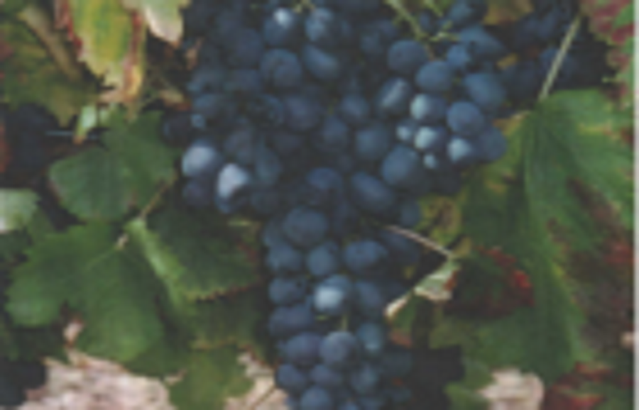 Attica Seedless™ table grape