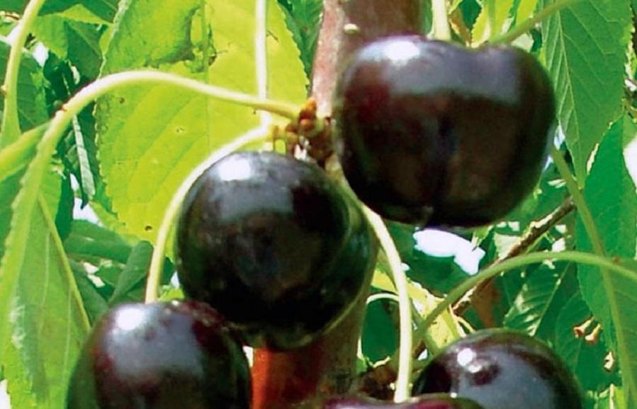 Black Pearl (NY8139) cherry