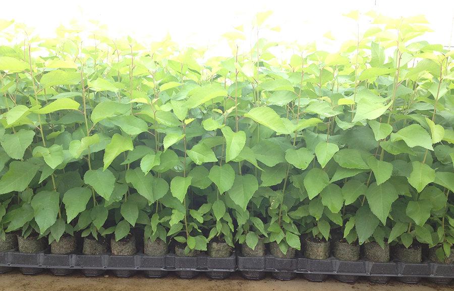cherry-rootstocks