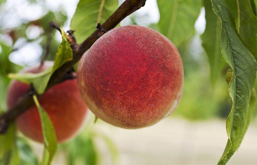 peach-September-Sun