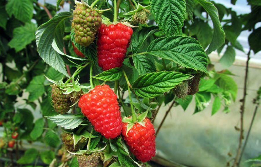 raspberry-santa-catalina