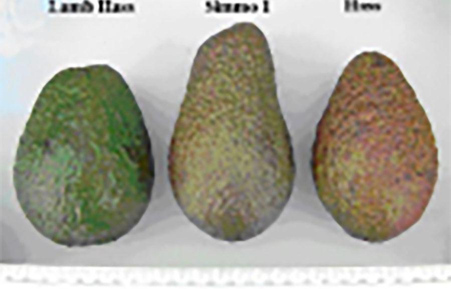 simmo hass avocado fruit-tree-variety-anfic