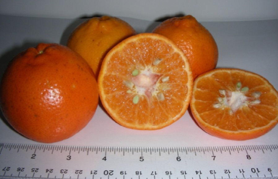 UF 900 (early maturing) mandarin